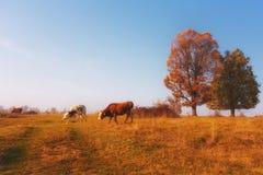 Puesta del sol con las vacas fotografía de archivo libre de regalías