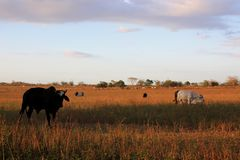 Puesta del sol con las vacas en el campo, Venezuela Imagen de archivo libre de regalías
