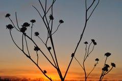 Puesta del sol con las vainas secadas del girasol foto de archivo libre de regalías