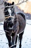 Puesta del sol con los caballos Imagen de archivo