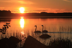 Puesta del sol con los cisnes Imagen de archivo libre de regalías