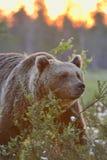 Puesta del sol contra del oso Imagen de archivo libre de regalías