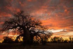 Puesta del sol de Boab Fotos de archivo libres de regalías