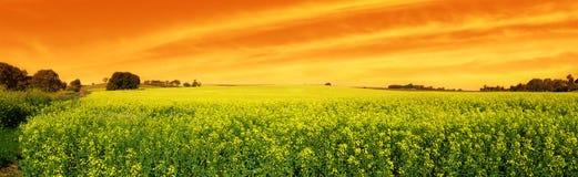 Puesta del sol de Canola panorámica Imagen de archivo libre de regalías