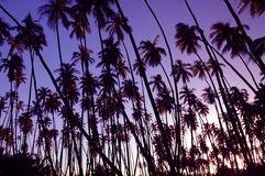 Puesta del sol de la arboleda del coco fotografía de archivo