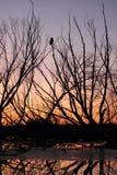 Puesta del sol de la caída con el gran búho de cuernos Foto de archivo libre de regalías