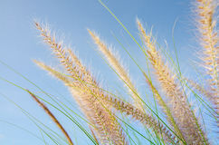 Puesta del sol de la flor de la hierba y cielo azul Imagen de archivo