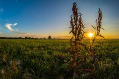 Puesta del sol de la mala hierba Fotos de archivo libres de regalías