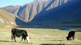 Puesta del sol de la montaña de la vaca metrajes