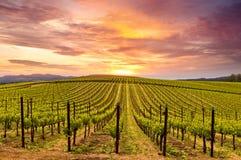 Puesta del sol de la primavera de los viñedos de Napa Valley Imagenes de archivo