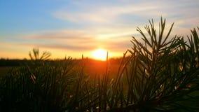 Puesta del sol de la rama del pino Imagen de archivo