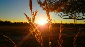 Puesta del sol de la rama del pino Fotos de archivo