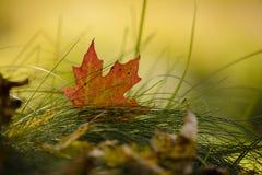 Puesta del sol de la tarde de la caída con las hojas de arce fotos de archivo libres de regalías