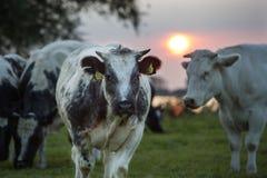 Puesta del sol de la vaca Foto de archivo libre de regalías
