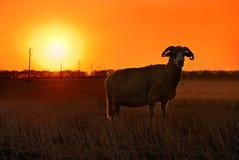 Puesta del sol de las ovejas Imagenes de archivo