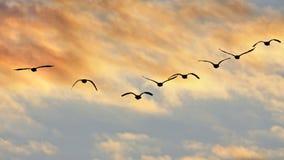 Puesta del sol de las siluetas de los gansos de Canadá del vuelo Fotos de archivo