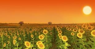 Puesta del sol de los girasoles Fotos de archivo