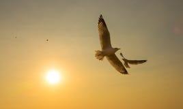 Puesta del sol de los pájaros del dúo del vuelo Fotografía de archivo