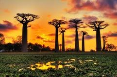 Puesta del sol de Madagascar de los baobabs Fotos de archivo libres de regalías