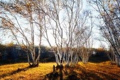 Puesta del sol de maderas de abedul Imagen de archivo libre de regalías