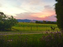 Puesta del sol de Nueva Zelanda en un viñedo Imágenes de archivo libres de regalías