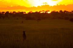 Puesta del sol de observación del guepardo foto de archivo libre de regalías