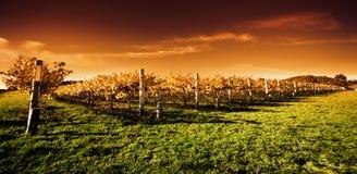 Puesta del sol de oro del viñedo Imagenes de archivo