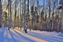 Puesta del sol de oro hermosa en el bosque de los abedules del invierno Fotografía de archivo libre de regalías