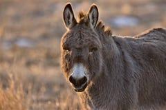 Puesta del sol del aat del burro Imagen de archivo libre de regalías