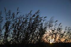 Puesta del sol del arroz Imagen de archivo libre de regalías