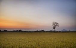 puesta del sol del Arroz-campo Fotografía de archivo libre de regalías