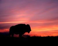 Puesta del sol del bisonte Imagen de archivo libre de regalías
