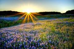Puesta del sol del Bluebonnet Foto de archivo libre de regalías