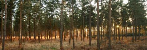 Puesta del sol del bosque Foto de archivo libre de regalías