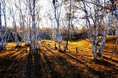 Puesta del sol del bosque y de la sombra del abedul blanco Fotografía de archivo libre de regalías