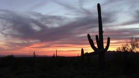 Puesta del sol del cactus del Saguaro en primavera almacen de video