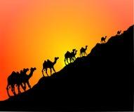 Puesta del sol del camello Fotos de archivo libres de regalías