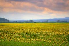 Puesta del sol del campo de los girasoles Foto de archivo