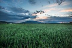 Puesta del sol del campo de trigo foto de archivo