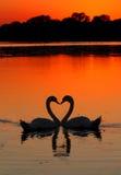 Puesta del sol del corazón de los cisnes Imagen de archivo libre de regalías