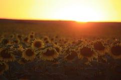 Puesta del sol del girasol Imagenes de archivo