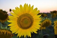 Puesta del sol del girasol Imagen de archivo