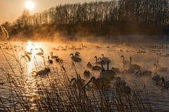 Puesta del sol del invierno de la niebla del lago swans Foto de archivo libre de regalías