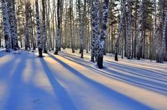 Puesta del sol del invierno en arboleda del abedul Imagen de archivo