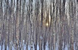Puesta del sol del invierno en bosque del abedul Imagen de archivo libre de regalías