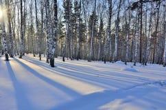 Puesta del sol del invierno en el birchwood Imágenes de archivo libres de regalías