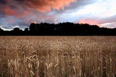Puesta del sol del maíz Fotografía de archivo libre de regalías