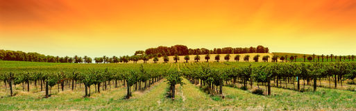 Puesta del sol del panorama del viñedo Imágenes de archivo libres de regalías