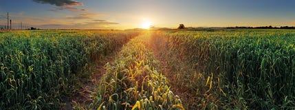 Puesta del sol del panorama sobre campo de trigo con la trayectoria fotografía de archivo