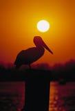 Puesta del sol del pelícano Imagen de archivo libre de regalías